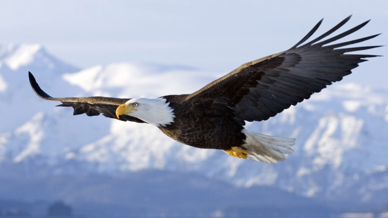 Homer, Alaska, United States --- Bald Eagle in mid-air flight over Homer Spit Kenai Peninsula Alaska Winter --- Image by © AlaskaStock/Corbis