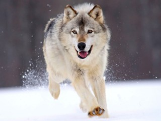 Running_Wolf_1024x768-Wallpaper