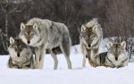 gray-wolves-hd-wallpapers-free-download-marvelous-hd-wallpapers-of-wolves