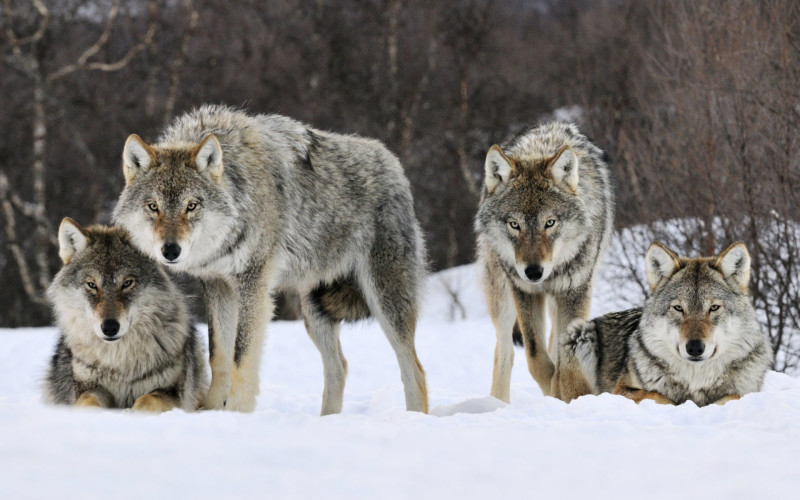 gray-wolves-hd-wallpapers-free-download-marvelous-hd-wallpapers-of-wolves-2